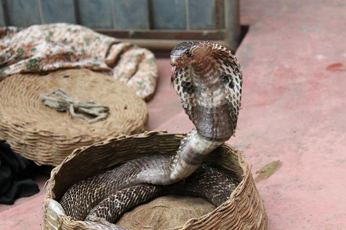 cobra position body language
